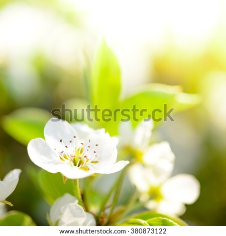 Spring Blossoming Pear Flowers on the Bright Blurred Background