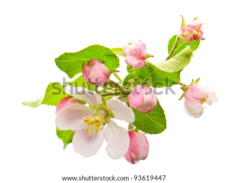 spring blossoms. apple tree flowers isolated on white - stock photo