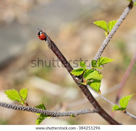 Spring blossoms tree birch with young green leaves - stock photo