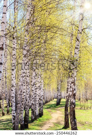 Spring blossoms tree birch with young green leaves. Birchwood. - stock photo