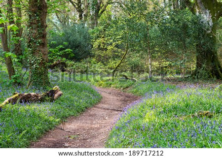 Spring bluebells in bloom in mature woodland - stock photo