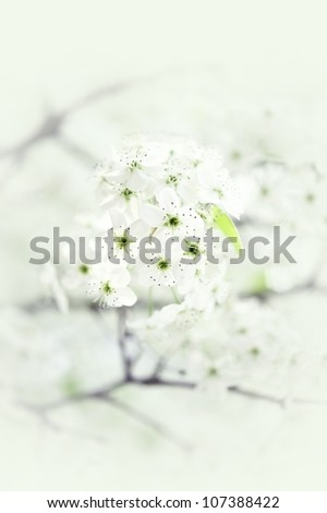 Spring Branch Flowers - American Wild Plum Flowering Tree. Delicate Soft Spring Background - stock photo