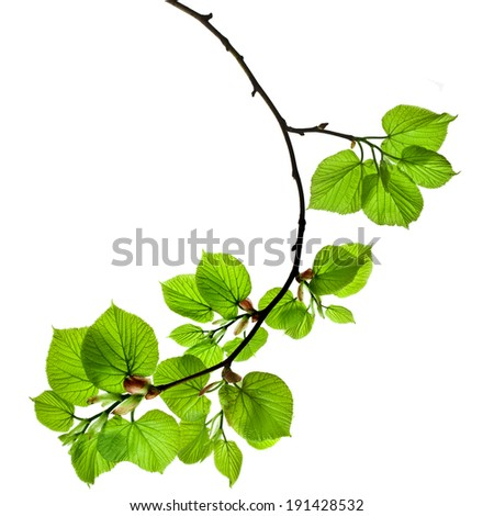 spring branch with fresh green leaves  isolated on white background - stock photo