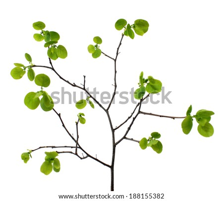 spring branch with green leaves isolated on white background