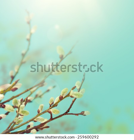 Spring branches Catkins Willow on blue sky background.  - stock photo
