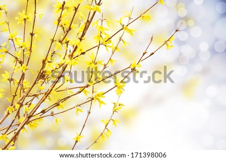 Spring bright yellow of blooming forsythia bokeh  - stock photo