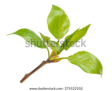 Spring buds - stock photo