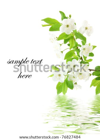 Spring cherry blossom isolated on white - stock photo