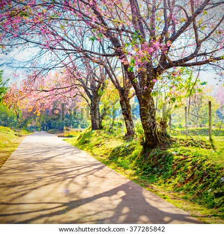 Spring Cherry Blossom Path through a beautiful road , Chiang mai , Thailand - stock photo