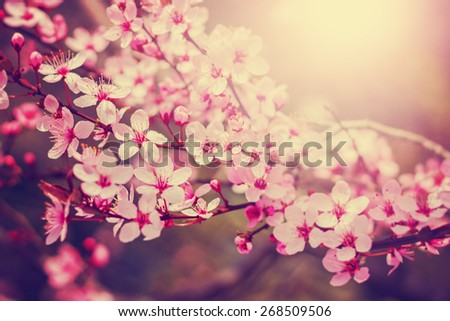 spring cherry blossom tree with a sun flare with a retro instagram filter (shallow depth of field) - stock photo