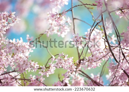 Spring cherry blossom with young green leaves and blue sky in background. - stock photo