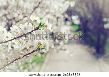 Spring Cherry blossoms and a road. Soft sunlight - stock photo