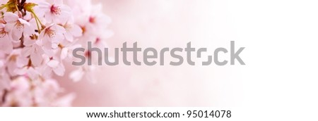 Spring Cherry blossoms in full bloom fading in to white background. - stock photo