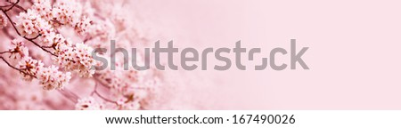 Spring Cherry blossoms in full bloom. Title header wide dimension image.  - stock photo
