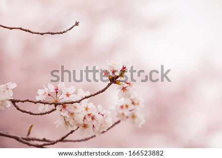 Spring cherry blossoms in soft spring light.  - stock photo