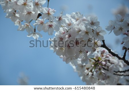 https://thumb9.shutterstock.com/display_pic_with_logo/167494286/615480848/stock-photo-spring-cherry-blossoms-pink-flowers-615480848.jpg