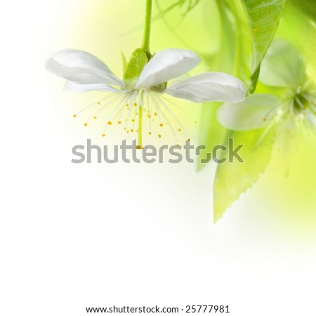 Spring Cherry Flowers - stock photo
