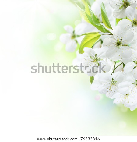 Spring Cherry Flowers border.Orchard - stock photo