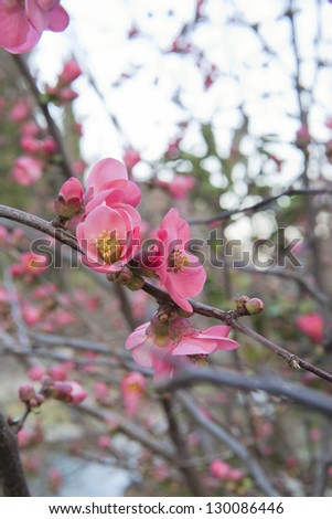 spring cherry pink blossoms in full bloom - stock photo