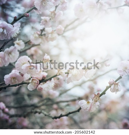 Spring cherry tree blossoms