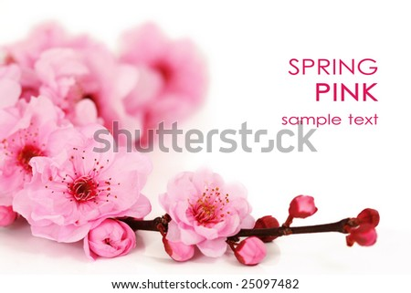 Spring cherry tree blossoms on white background. - stock photo