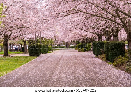 Spring Cherry Trees in Bloom in Park with Petals on the Road