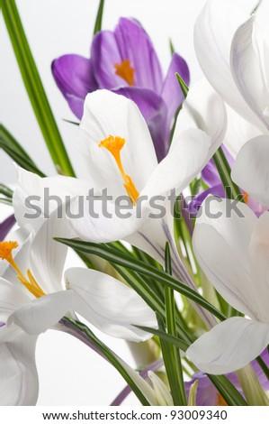 Spring crocus flowers - stock photo