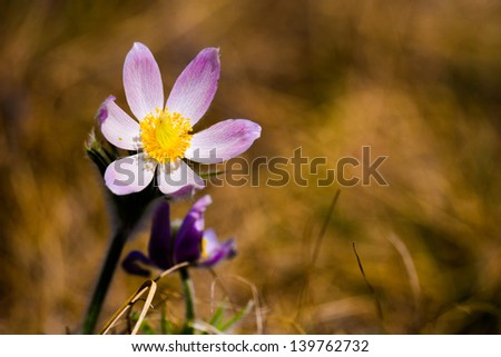 Spring Crocus in a prairie field, Alberta Canada - stock photo