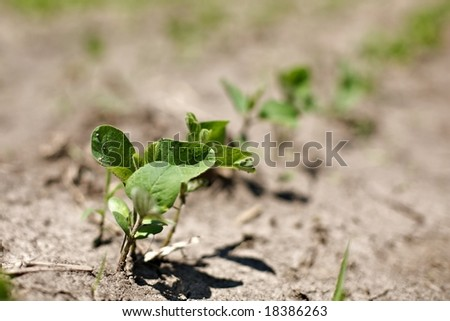 """spring crops of """"Glycine max"""" soybeans. Sprouts struggle in dry weather conditions. - stock photo"""