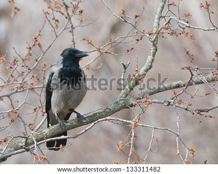 spring crow - stock photo