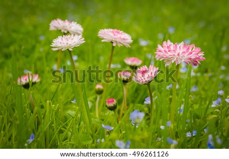 spring: cute pink daisies in the grass
