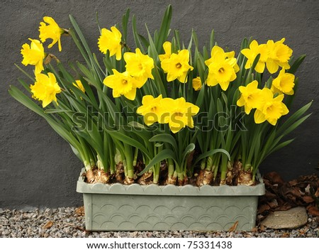 Spring daffodils in rectangular pot - stock photo