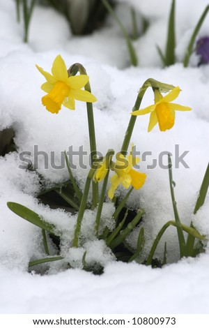Spring daffodils in the snow.
