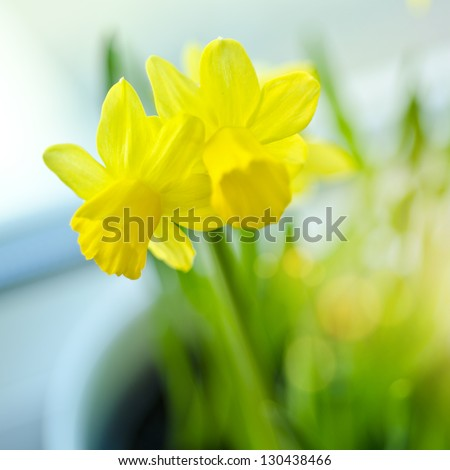 Spring Daffodils on a windowsill. - stock photo
