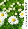 spring daisy meadow - stock photo