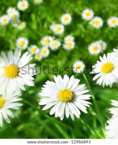 spring daisy meadow - stock photo