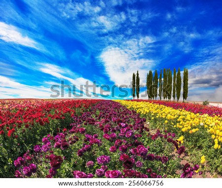 Spring  day. Field of colorful blooming buttercups - ranunculus. On the horizon is growing cypress alley - stock photo