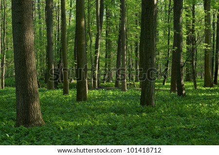 Spring deciduous forest with grass - stock photo