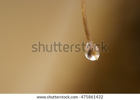Spring drop. Transparent drop on a tree needle.