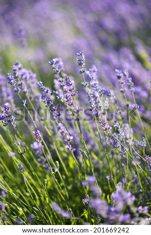 spring field of blossoming lavender