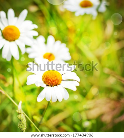 Spring field of violet fresh daisies/ Natural  landscape