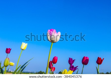 Spring field with colorful  blooming  tulips under blue sky - stock photo