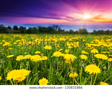 Spring field with dandelions in the morning. Dramatic sky. Ukraine, Europe. Beauty world. - stock photo