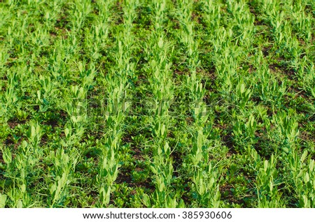 Spring field with growing young pea plants - agricultural seasonal background - stock photo