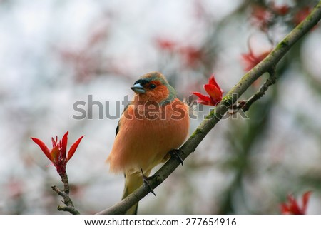 Spring. Finch  (Fringilla coelebs) is sitting on a branch of apple. - stock photo