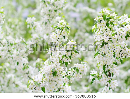 spring floral blur background, blooming apple tree, local focus, shallow DOF