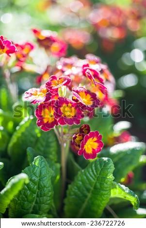Spring flower bed - primula elatior - stock photo