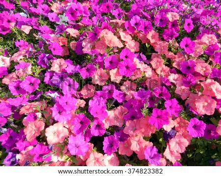 Spring flower beds with hot pink, red and purple petunias flowering - stock photo
