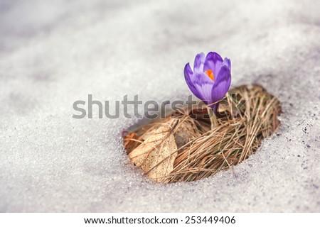 spring flower crocus close up - stock photo