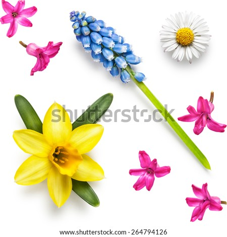 Spring flower heads of daffodil, hyacinth, muscari and daisy collection isolated on white background - stock photo